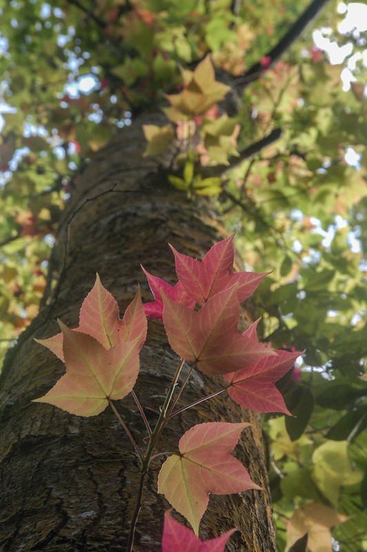 四社山巨木(楓香) 2