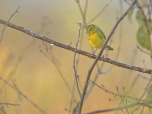 Prairie Warbler 01-20190301
