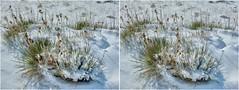 Snowy Yucca