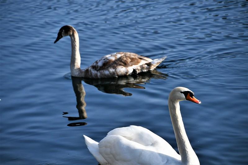 Swans 19.02 (2)