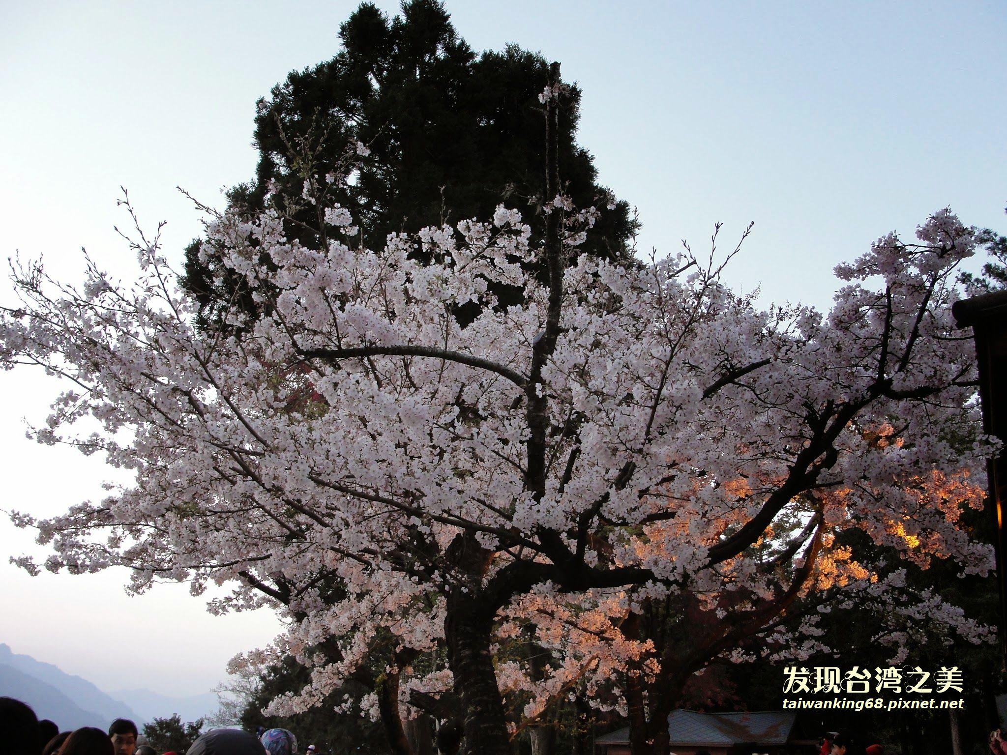 20100320阿里山吉野櫻