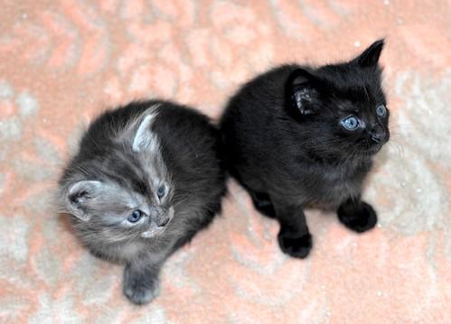 Yoel, gatito monisimo pelo semilargo negro esterilizado, nacido en Febrero´19, en adopción. Valencia. 33583667748_1215fa5dd2