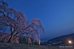 27山梨の桜 (19.4.6) (470)