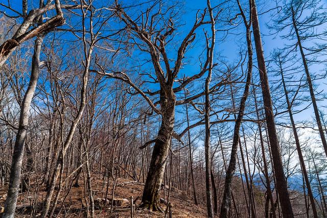 ブナの大木を見上げる