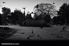 Crows flew over the cross - Streatham Cemetery