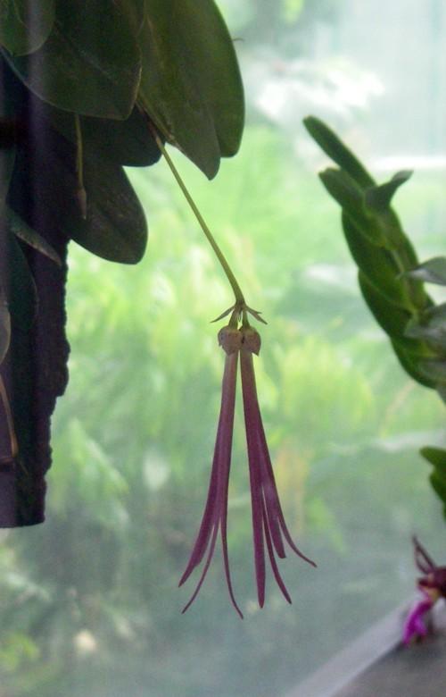 Bulbophyllum plumatum 45657716445_db0e71233a_o