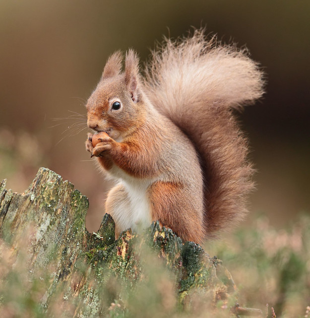 Red Squirrel (Explored!), Canon EOS 7D MARK II, Canon EF 500mm f/4L IS II USM