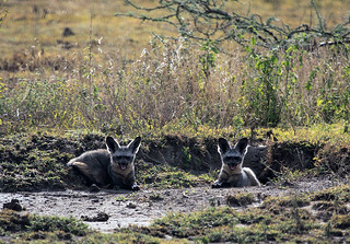 Bat-eared foxes at Ndutu in the Ngorongoro Conservation Area in Tanzania