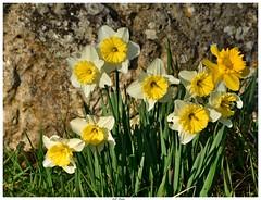 Narcisses de mon jardin . Narcissuses of my garden .
