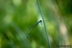 Ischnura elegans (Ischnure élégant) - Photo of Pensol