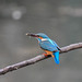 Kingfisher 190317023-2.jpg
