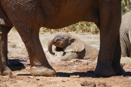 Savanna Elephant (Loxodonta africana) young having a mud bath ...