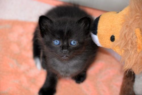 Yoel, gatito monisimo pelo semilargo negro esterilizado, nacido en Febrero´19, en adopción. Valencia. 46736836174_f656977a48