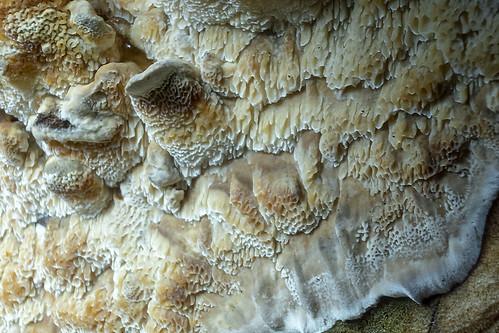 Schizopora paradoxa (Witte tandzwam) - Elderschans - Nederland