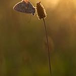 Azuré au soleil couchant