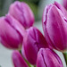 Winter tulips