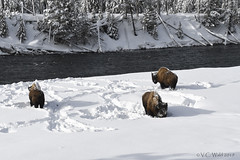 Bison bulls eking out a winter meal