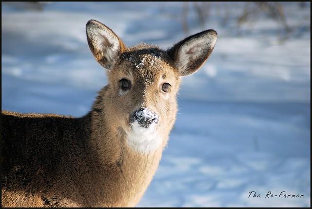 2019.01.white.tail.deer.3