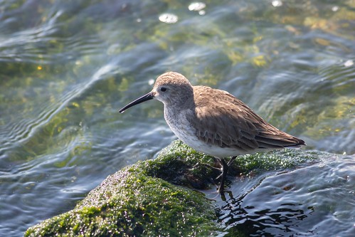 Dunlin Traversing the Ocean