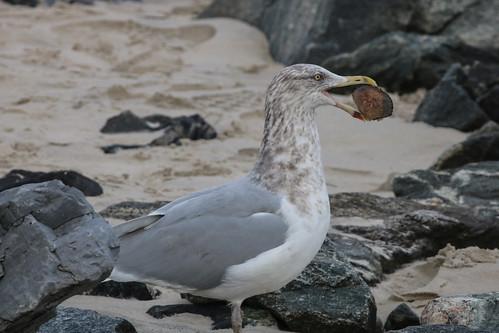 Herring Gull Feasting