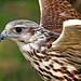 Sakerfalke ( Falco cherrug ) Saker-falcon by der_birder