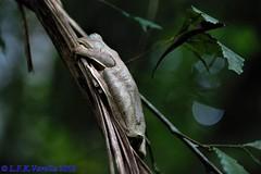 sapo-martelo (Hypsiboas sp.)