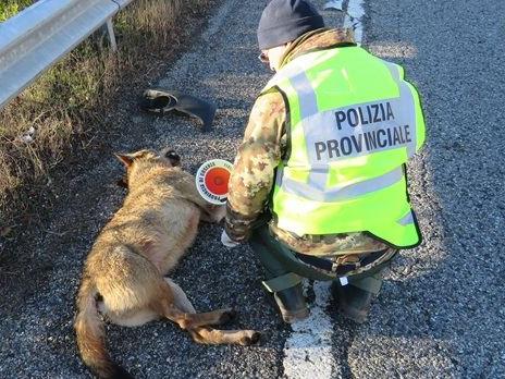 carcasse di lupi