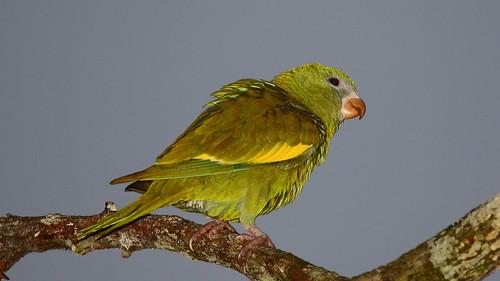 White-winged Parakeet - Brotogeris versicolurus