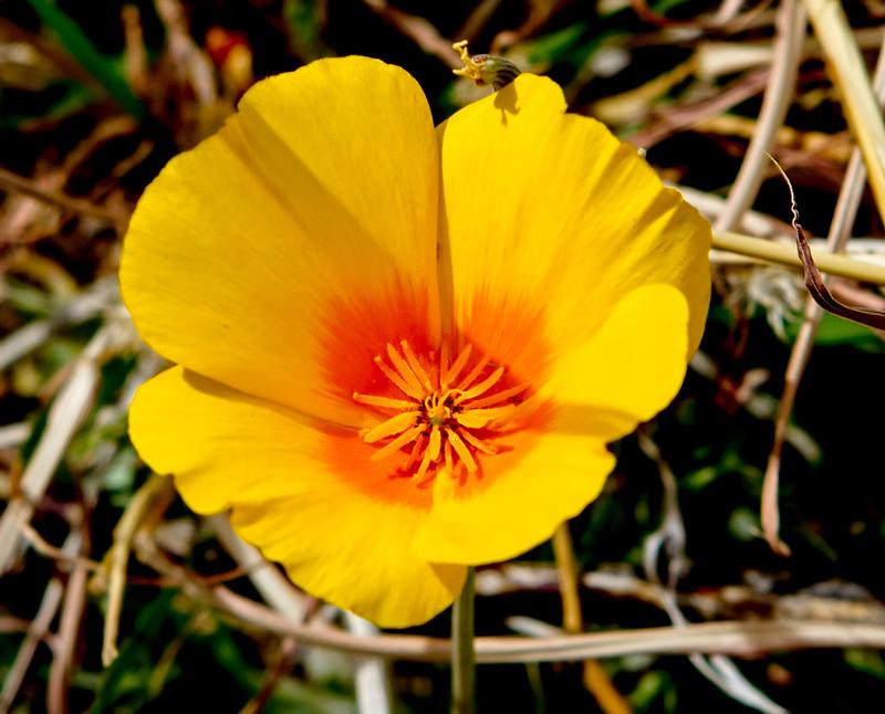 Poppy-4-7D1-032719