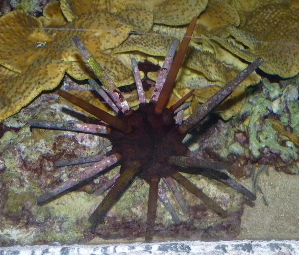Heterocentrotus mammillatus 40099571453_72f5002de4_o