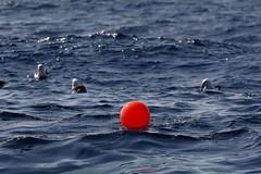 Buoy and Albatrosses