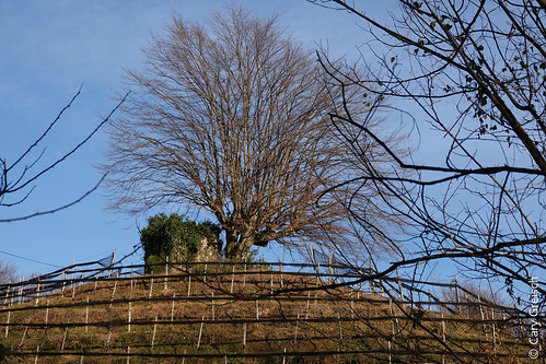 Arbre sur talus à Ronco (Castelrotto, Ticino) (25/12/2018 -09)