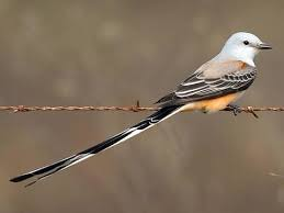 Scissor-tailed Flycatcher, Forest Park, 100814