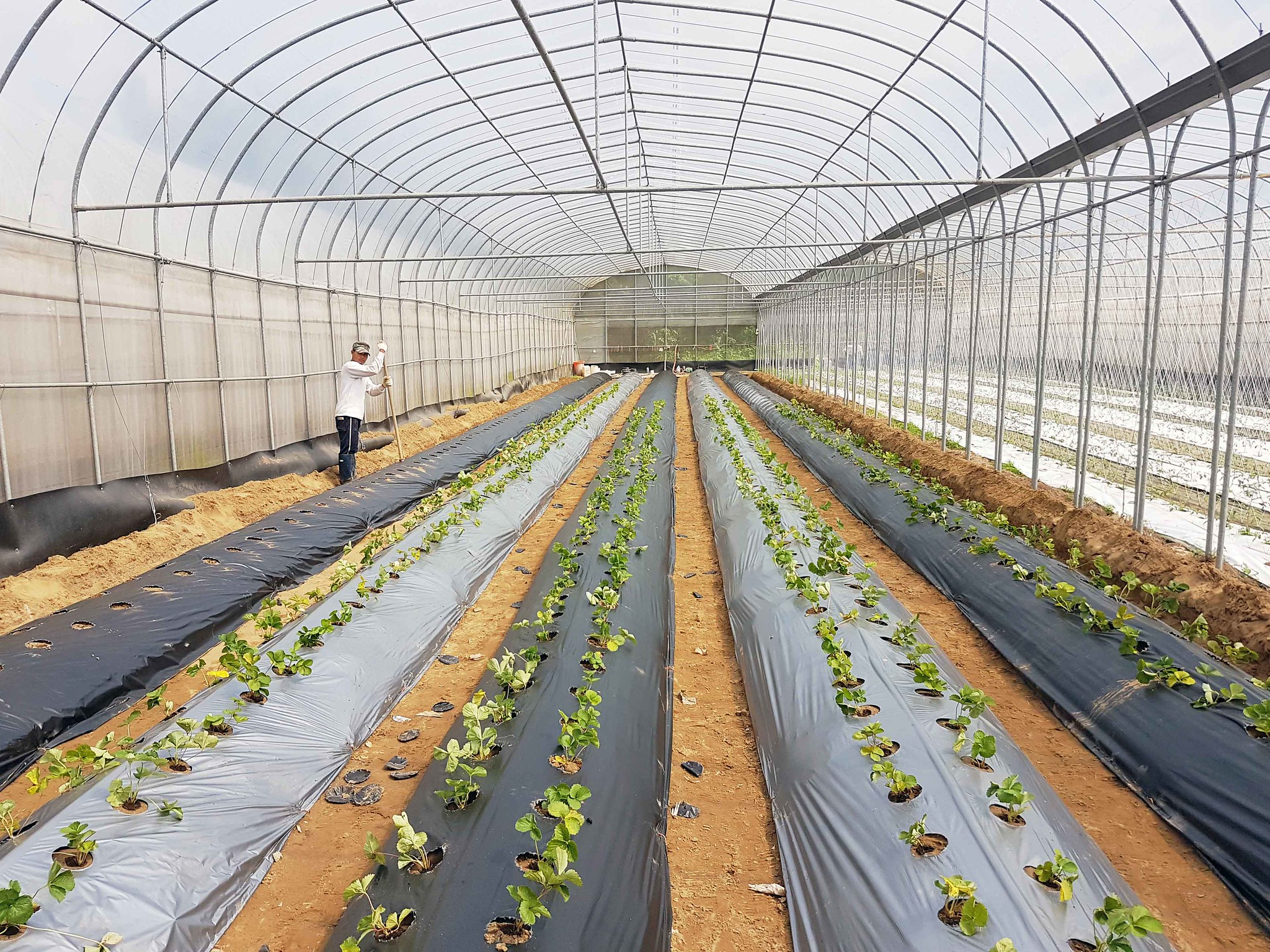 可分解農地膜田間實驗示意圖  圖片來源:農業委員會公關科