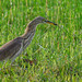 Chinese pond heron in grass