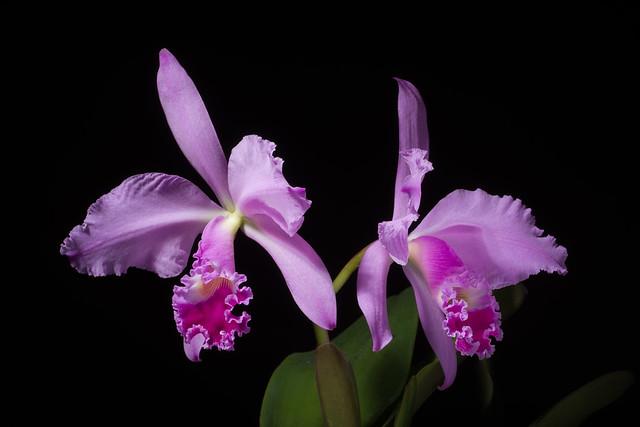 Photo:[Brazil] Cattleya warneri T.Moore ex R.Warner, Select Orchid. Pl.: t. 8 (1862) By sunoochi