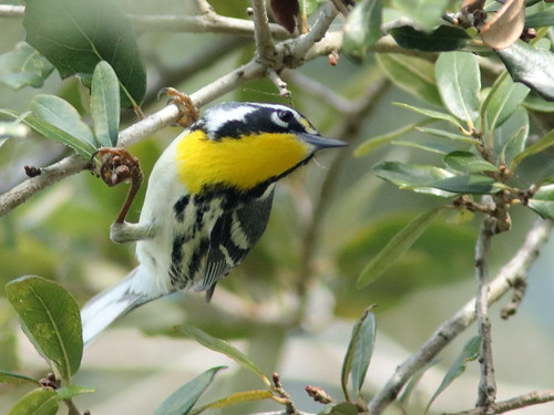 Yellow-throated Warbler 04-20190217