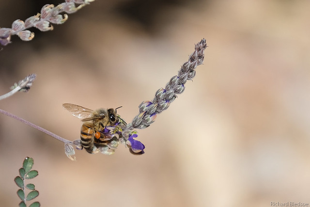 Honey Bee (Explored), Fujifilm X-T3, XF100-400mmF4.5-5.6 R LM OIS WR