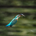 Kingfisher 190119004.jpg