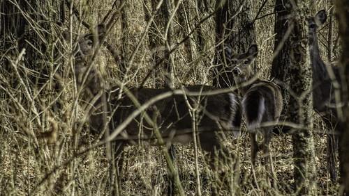 Deer at Oxley II