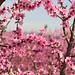 La floració dels presseguers... by Neus del Alamo