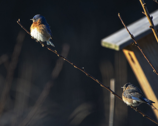 Bluebirds Mated Pair