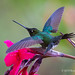 In Preparation For Flight A Male Talamanca Hummingbird Spreads Wings And Tail Feathers