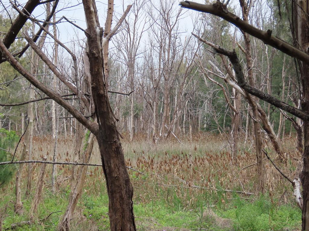 受地層下陷、海水倒灌等因素影響,1809號保安林植被存活率不佳。攝影:廖靜蕙