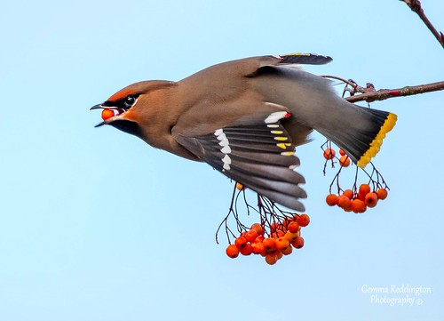 "Waxwing ""grab and go"""