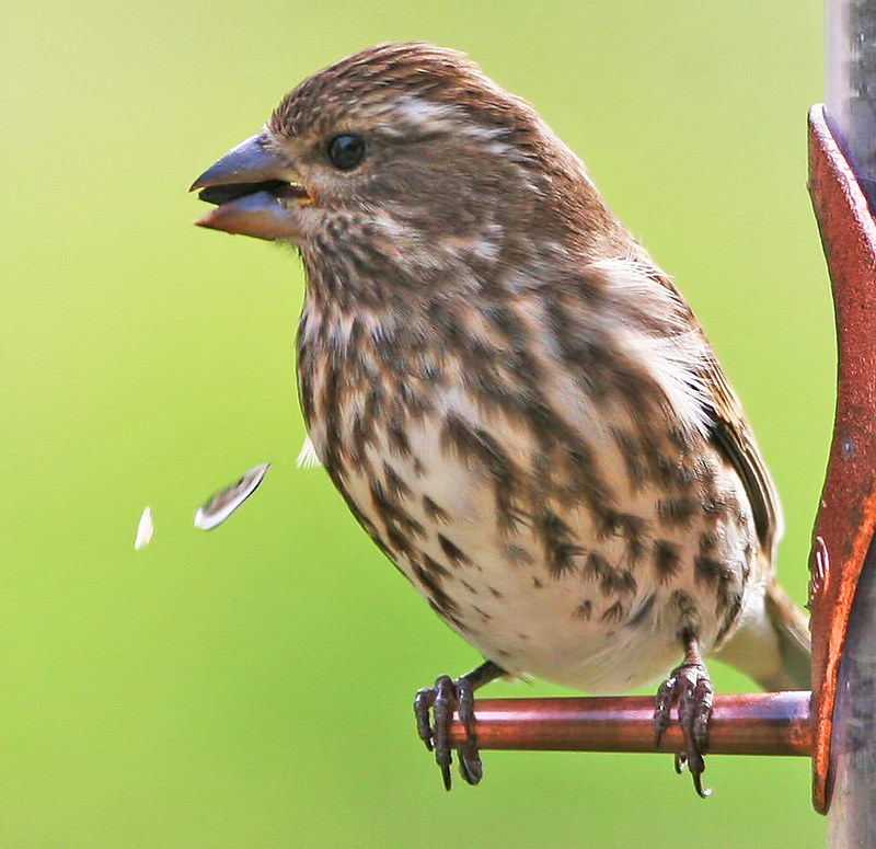 Purple Finch_3522