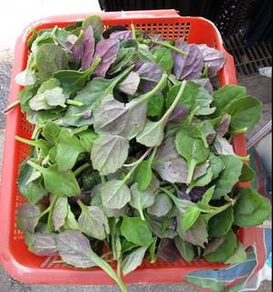 圓葉紅鳳菜。