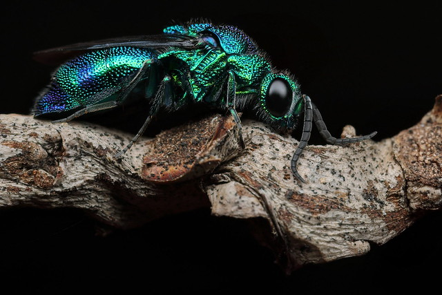 Cuckoo Wasp, Chrysididae species