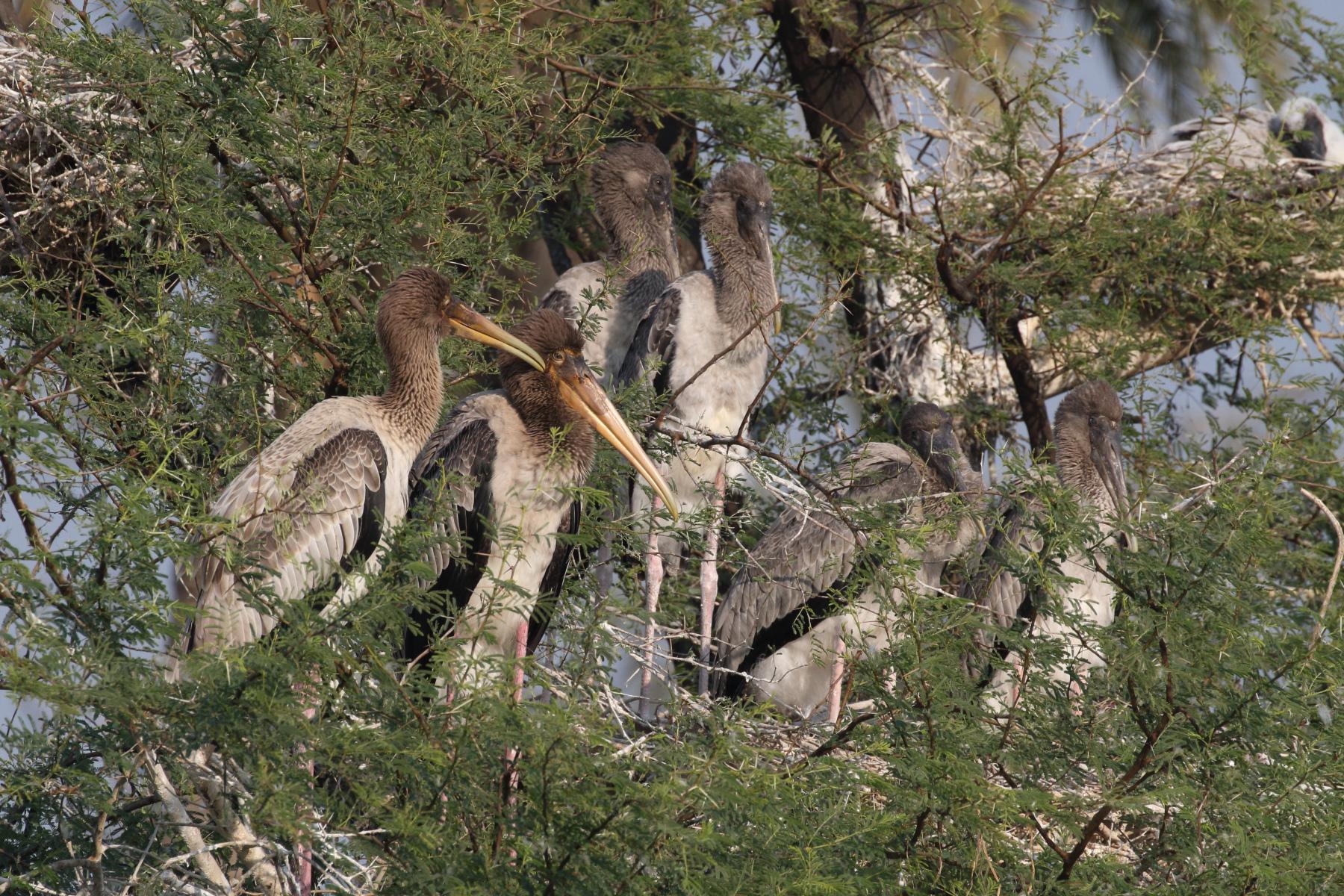 Nestlings and fledglings of Painted Stork