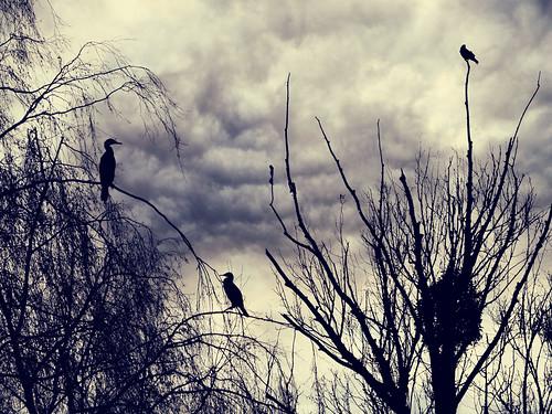 Les oiseaux noirs
